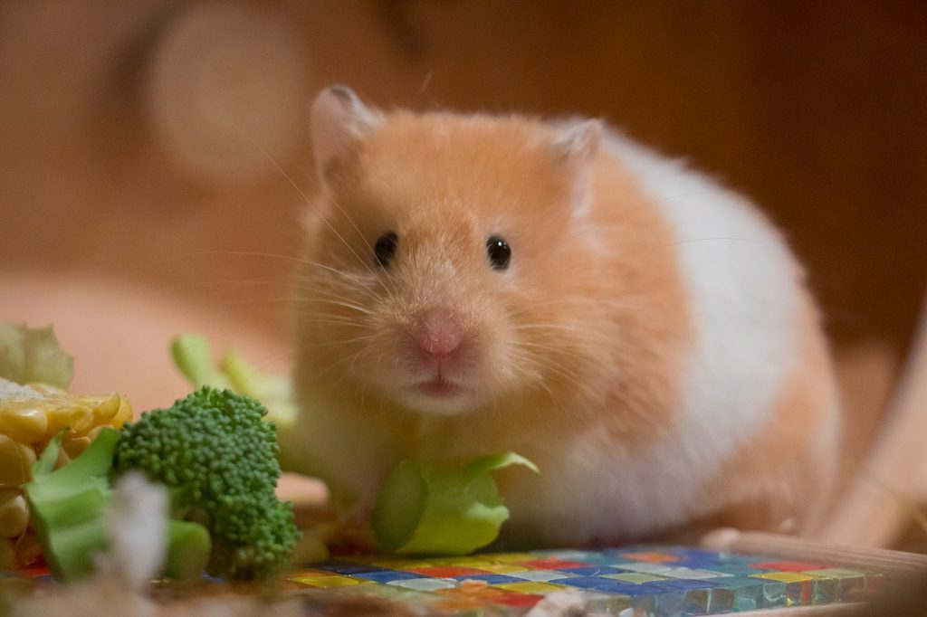 Skötselråd, Hamster