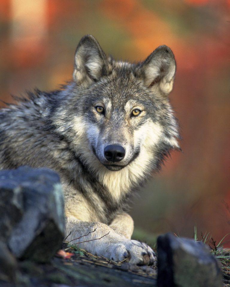 wolf, animal, wildlife