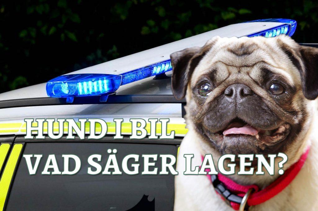 Hund i bilen vad säger lagen