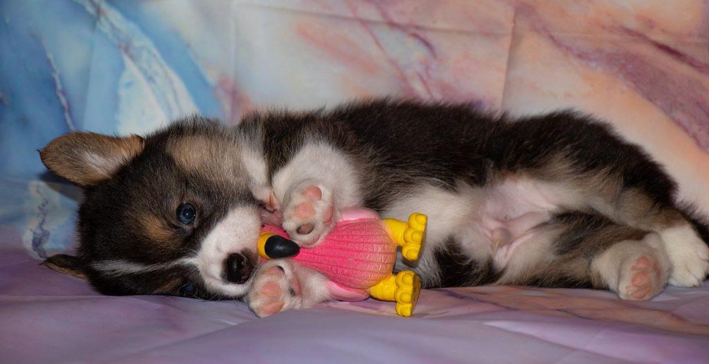 puppy, corgi, paws