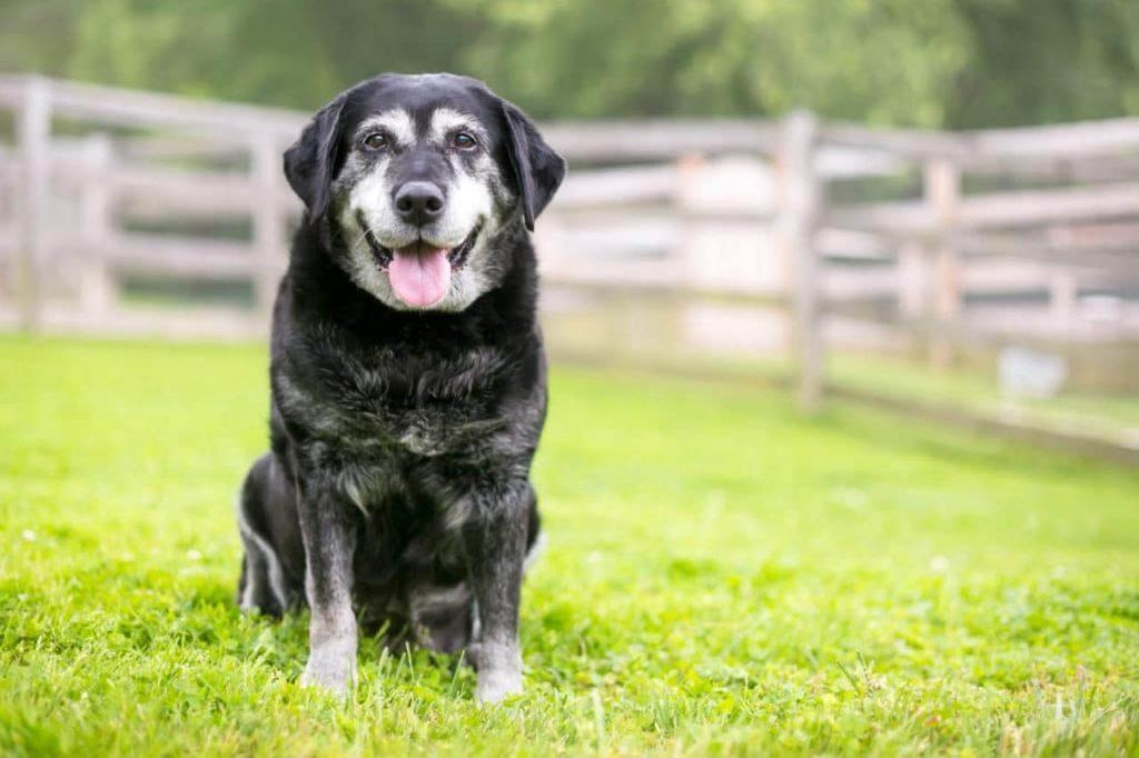 seniorhund labbe