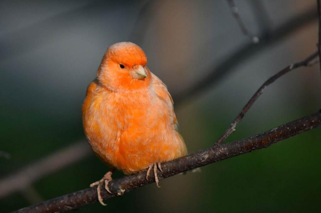 skötselråd kanariefågel
