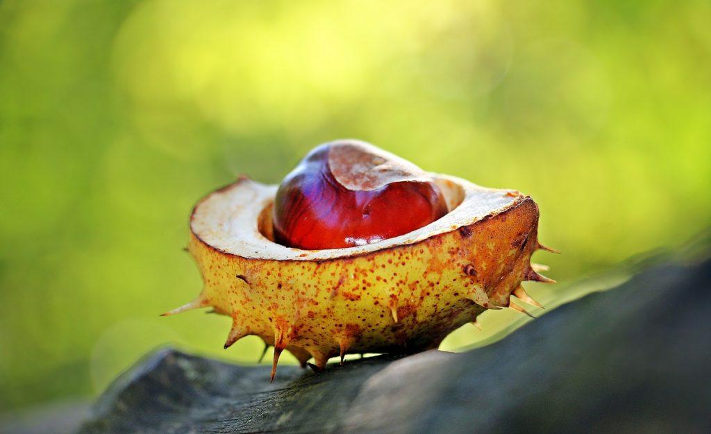 chestnut, autumn, spur