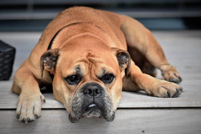 ledbesvär hos hund