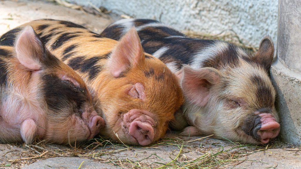 pigs, piglet, animal babies