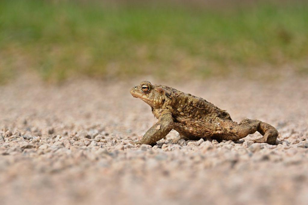 toad, animal, ground