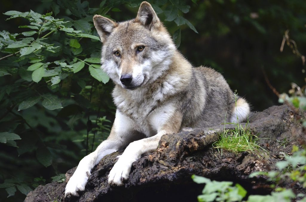 wolf, canine, forest